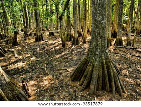 Dry Cypress Swamp