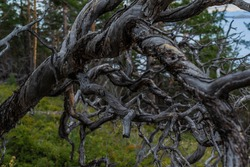 Dry dead dark gray curves twisted in spiral tree branches after fire, backdrop of Siberia forest and blue lake Baikal