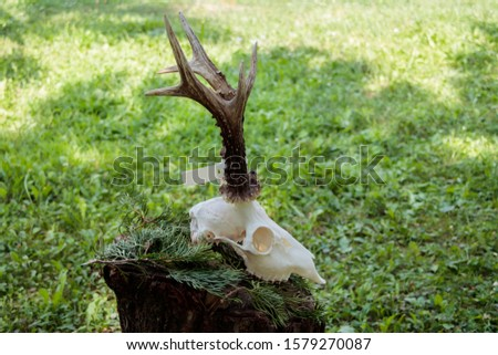 Dry deer antlers attached to the skull on a tree trunk #1579270087