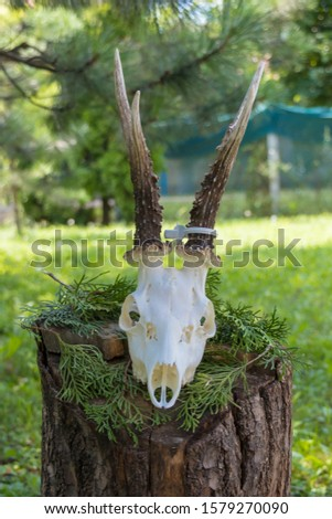 Dry deer antlers attached to the skull on a tree trunk #1579270090