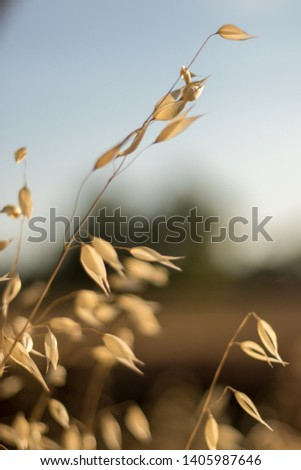 dry empty wild oats seed pods