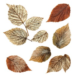 dry fall leaf of raspberry, elements raspberry leaves lay out on  background for scrapbook, object, roughage autumn silver leaves