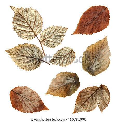 Shutterstock dry fall leaf of raspberry, elements raspberry leaves lay out on  background for scrapbook, object, roughage autumn silver leaves