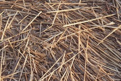 Dry fallen reed on a seacoast as a natural background texture.