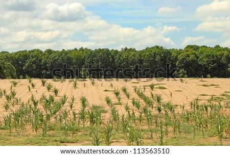 Dry farm field with some corn plants