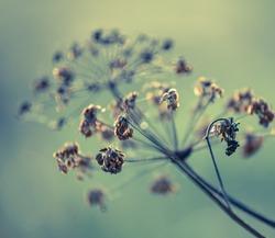 Dry Fennel plant closeup, Autumn landscape