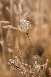 Dry flower in sepia color. Winter. Frost. Meadow