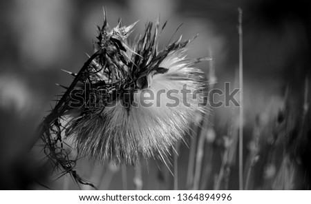 Dry flower of wild artichoke in foreground with monochromatic effect #1364894996