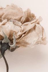 dry flower rose close up on beige background . Minimal floral card. interior poster