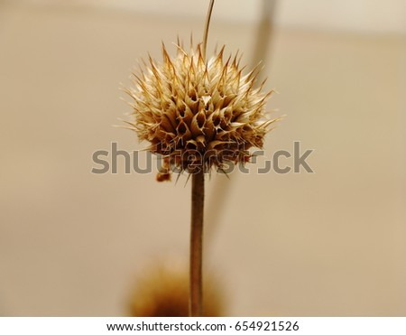 Dry flower standing on the stem - Shutterstock ID 654921526