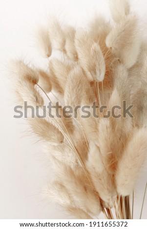 Dry fluffy bunny tails grass Lagurus Ovatus flowers on white background.  Tan pom pom plants backdrop. Stockfoto ©
