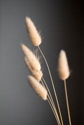 Dry fluffy bunny tails grass on dark background. Tan pom pom plant