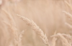 Dry golden natural reed in sunlight. Trend background with neutral colors