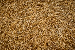 Dry golden yellow straw grass background texture after havesting. Close up
