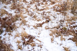 Dry grass and snow in winter, on a forest glade
