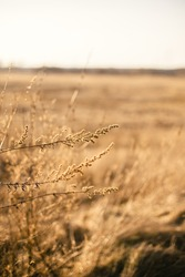dry grass dry plant straw sunset close up