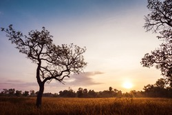 Dry grass field with big tree on sunrise, summer time