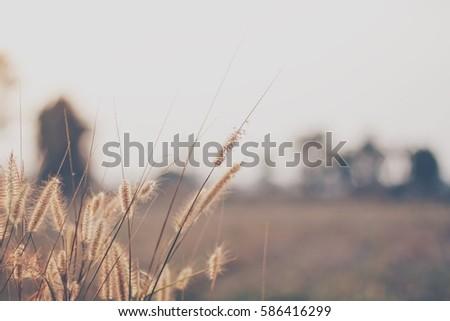 Dry grass flowers against the morning sun light in dark brown tone. #586416299