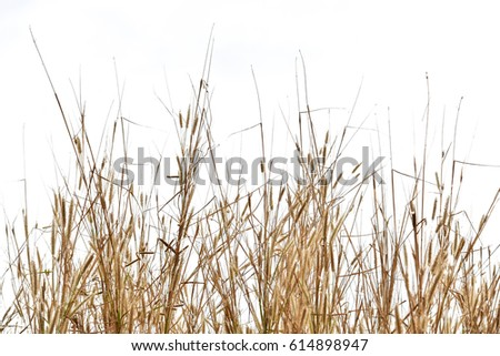 dry grass  isolated on white background