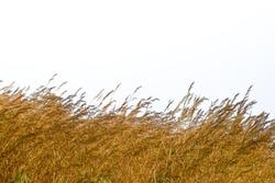 dry grass isolated on white background,Grasslands National Park, Saskatchewan, Thailand, Grass, Dry