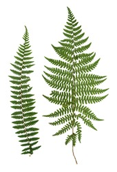 dry green pressed leaf of fern isolated