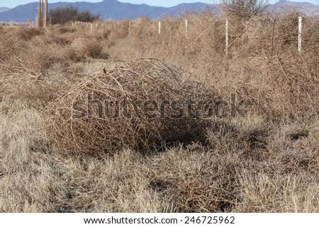 Dry in winter, huge, loose tumbleweed bush, lies on semi-desert ground in rural landscape/Loose, Winter-dry Russian Thistle Weed lies on High Desert Ground near Fence/Large dry tumbleweed shrub