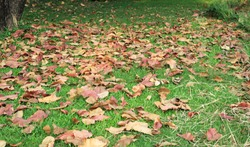 Dry leaves fall on the green grass.
