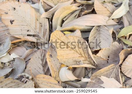 Dry leaves in dry season