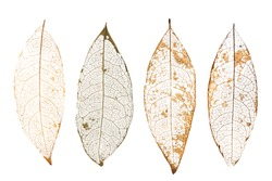 dry leaves with vein on a white background