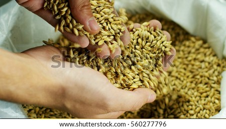 Dry malt beans ready to be used to brew the beer or the pure light or dark malt whiskey. concept of healthy and wholesome ingredients. Italian malt of barley for craft beer  Stock photo ©