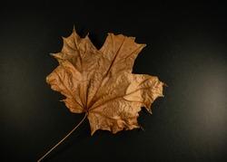 Dry maple leaf on a black background, close-up. Background for design.