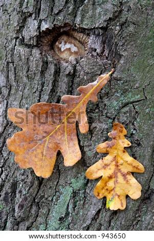 Dry oak leaves on a background of a mossy trunk of an oak
