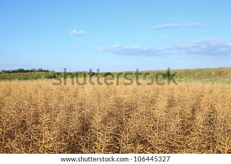 Dry oil rape  field in early summer ready for harvest #106445327