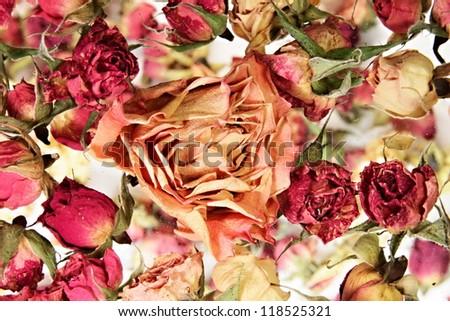 dry orange rose