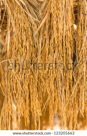 Dry paddy rice seeds mass product from Thailand