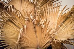 Dry palm leaf ,Dried sugar palm leaf background , A detail of palm leaf texture background Dried sugar palm leaf background,