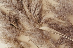 Dry pampas grass reeds agains on beige background. Beautiful pattern with neutral colors. Minimal, stylish, monochrome concept. Flat lay, top view, copy space. Set sail champagne trend color 2021