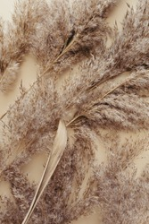 Dry pampas grass reeds agains on beige background. Beautiful pattern with neutral colors. Minimal, stylish, monochrome concept. Flat lay, top view, copy space. Set sail champagne trend color 2021.
