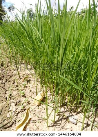 dry peddy field, rice field  #1446164804