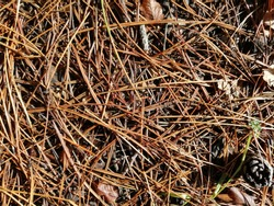dry pine needles and leaves and a pine cone