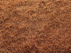 Dry pine tree needles on the ground. Natural fir-needle background.  Brown orange color. Coniferous forest. Fall needles texture. Conifers carpet underfoot. Autumn season.