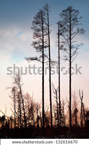Dry pine trees silhouette above colorful evening sky