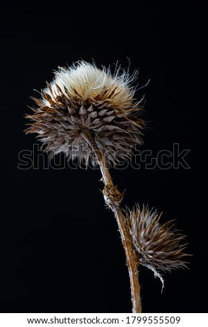 Dry plant on a black background. Macro photo. A fragment of a dried plant. Close-up. Dry stem, leaves and seeds of the plant. Dried herb. Contrast graphics. Abstract composition on black background