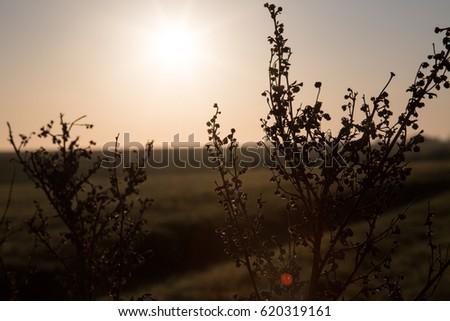 Dry plant on sunrise background. #620319161