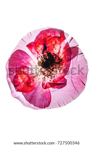 Tag dried poppy flower avopix dry poppy flower 727500346 mightylinksfo