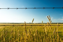 Dry prairie grass or wild wheat with barbed wire in the foreground. Image taken in South Australia, near Wilsons Promontory. Sunset scene with blue sky and golden shining grass.