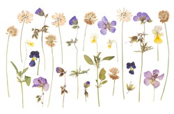 Dry pressed wild flowers isolated on white background