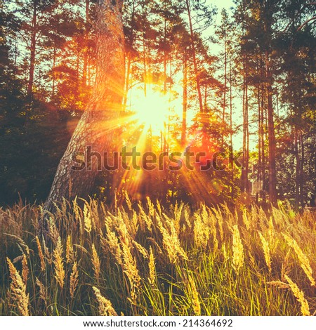 Dry Red Grass Field In Sunset Sunlight. Beautiful Yellow Sunrise Light Over Meadow. Summer In Russian Forest. Toned Instant Photo