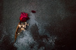 Dry red rose isolated on black rustic background. Copy space