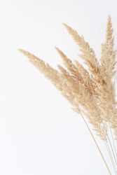 Dry reed grass close-up against white wall. Minimal floral background in neutral colors. Copy space.